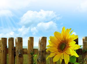 fleur de tournesol tourné vers les rayons du soleil