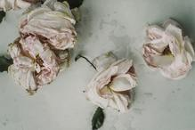 des roses malades ont besoin de soin